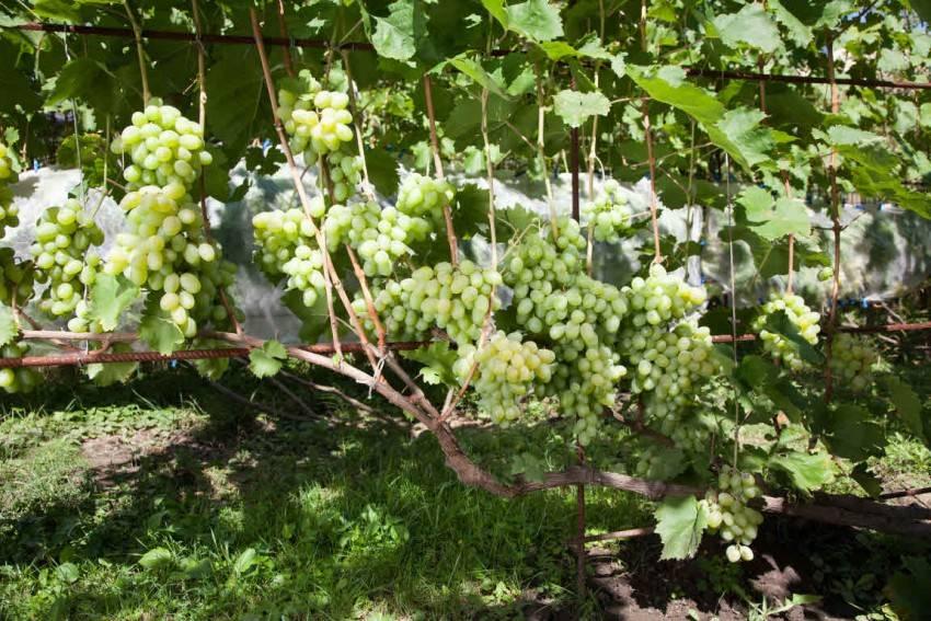 Почему нет завязи на винограде: причины, необходимые меры