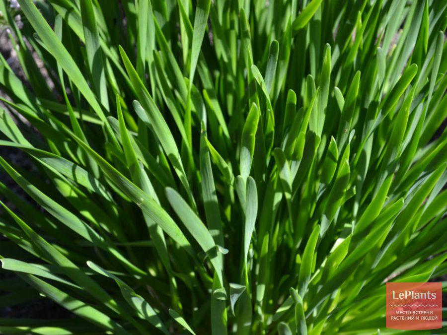 Как правильно выращивать лук слизун: правила ухода и методы выращивания, размножение и полезные свойства