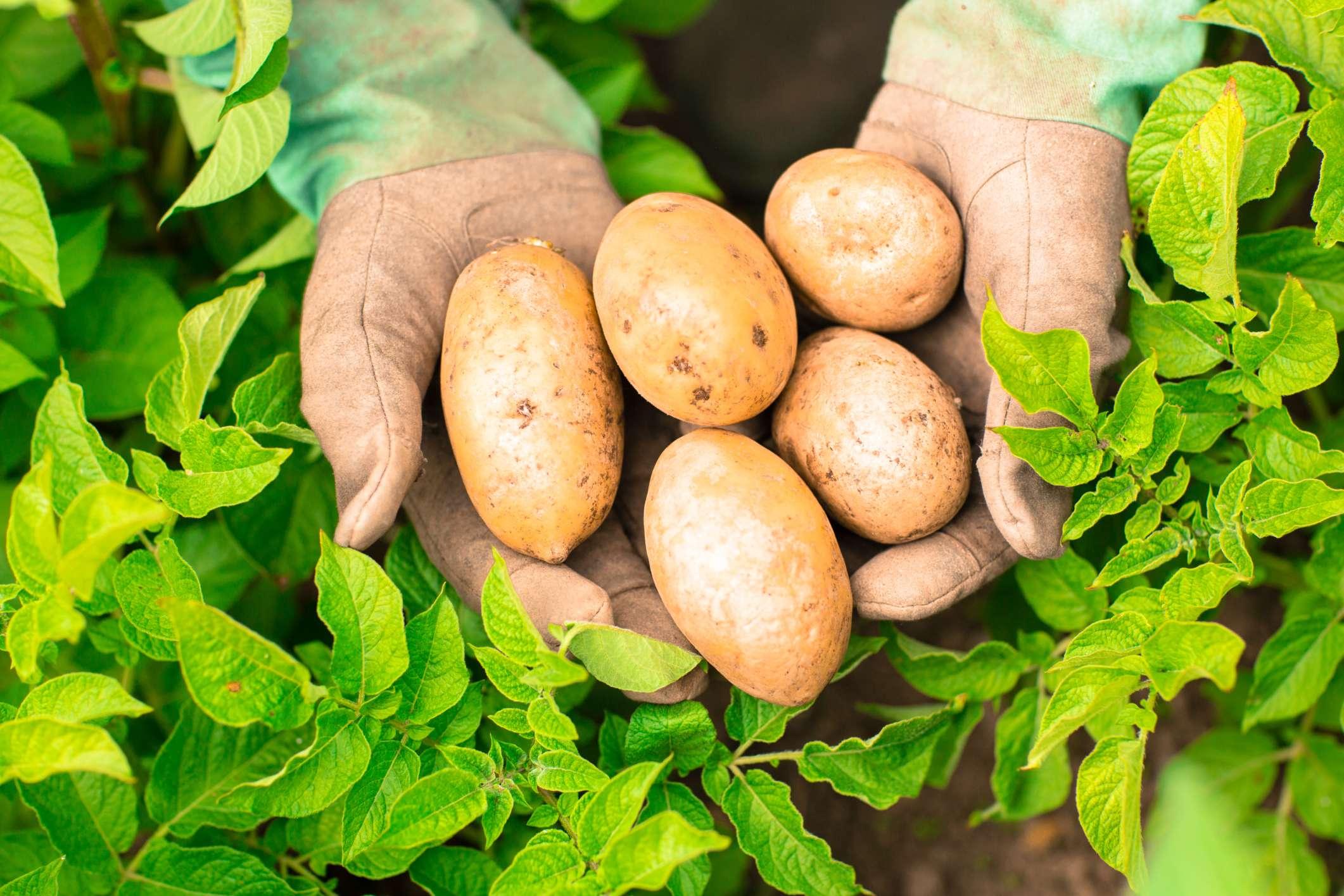 Описание и характеристики сорта картофеля Голубизна, выращивание и уход