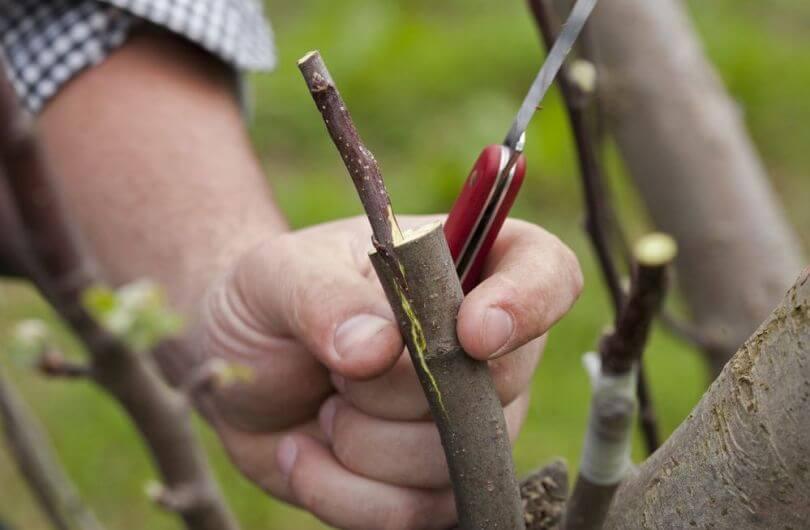 Прививаем виноград: основные принципы для начинающих