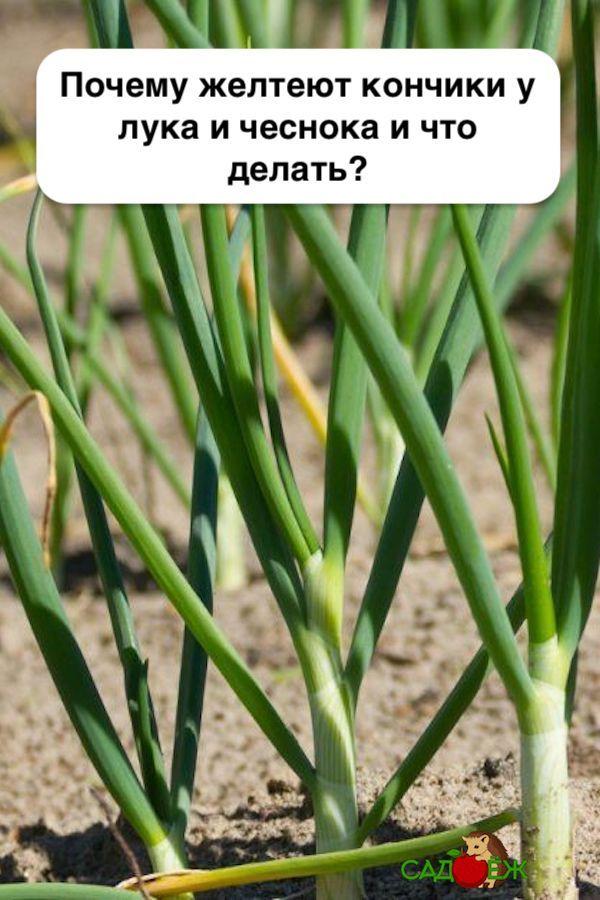 Почему во время роста желтеет лук на грядке и что делать?