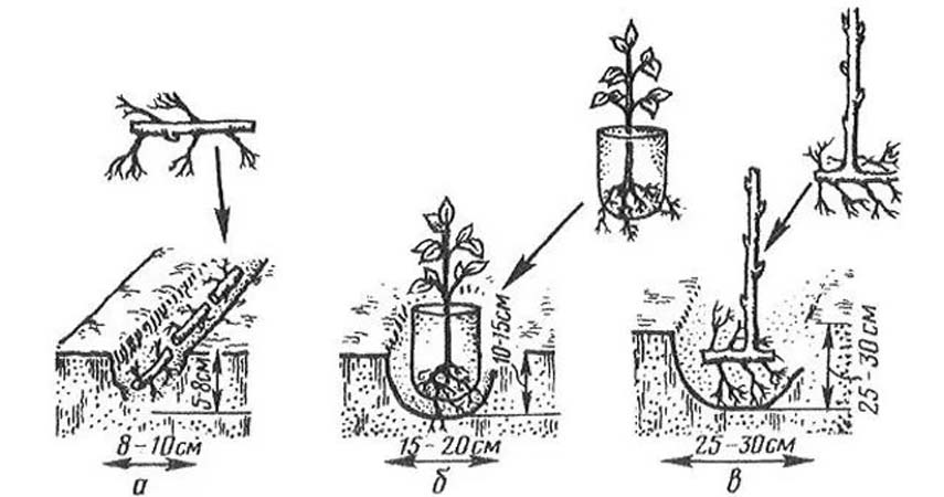 Сроки и способы размножения ежевики в домашних условиях, правила посадки