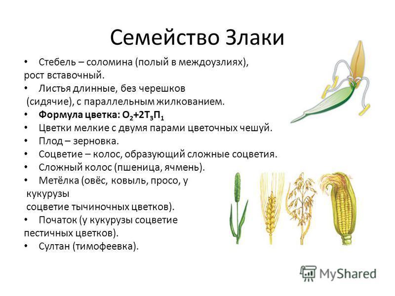 ✅ кукуруза это овощ или злак - питомник46.рф