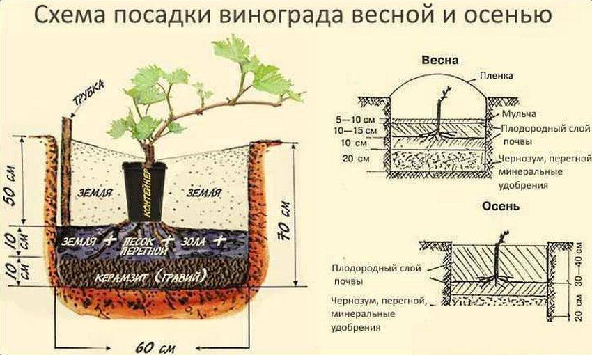 Выращивание винограда: советы начинающим и схемы посадки
