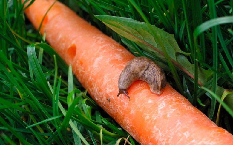 Болезни моркови: описание всех их видов с фото, лечение и профилактика, а также чем обработать овощи при борьбе с поражением во время выращивания и хранения? русский фермер