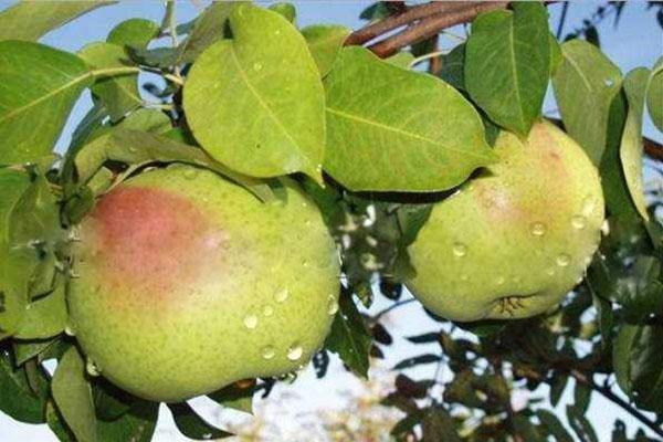 Картофель рогнеда: описание и характеристика сорта, посадка и уход, отзывы с фото