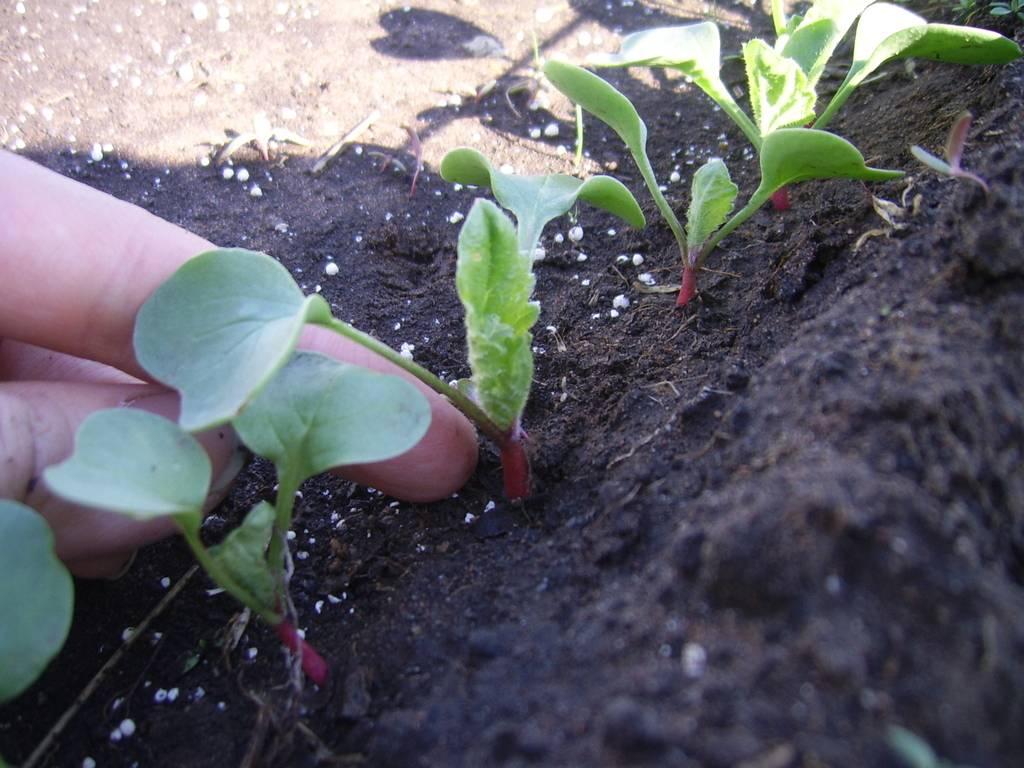 Щавель: особенности выращивания в открытом грунте