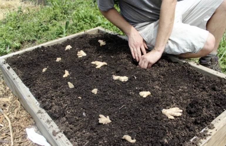 Выращивания имбиря в домашних условиях: посадка и уход