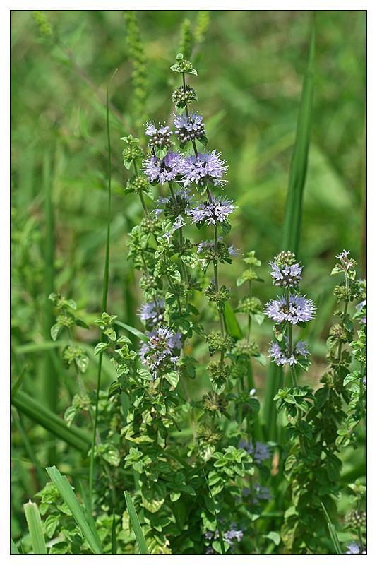 Описание омбало — болотной мяты, особенности посадки и ухода