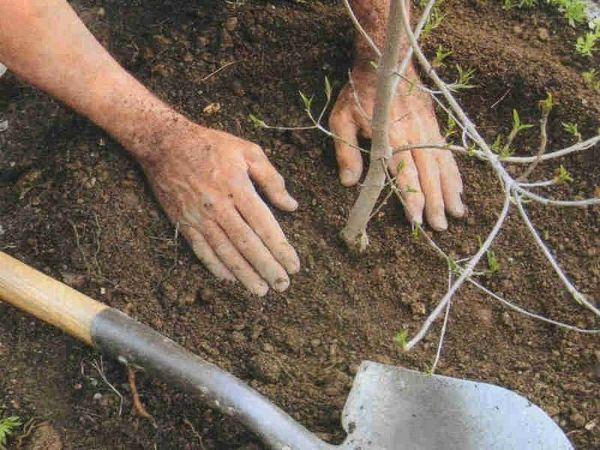 Выращивание вишни в ленинградской области – лучшие сорта, правила посадки, ухода