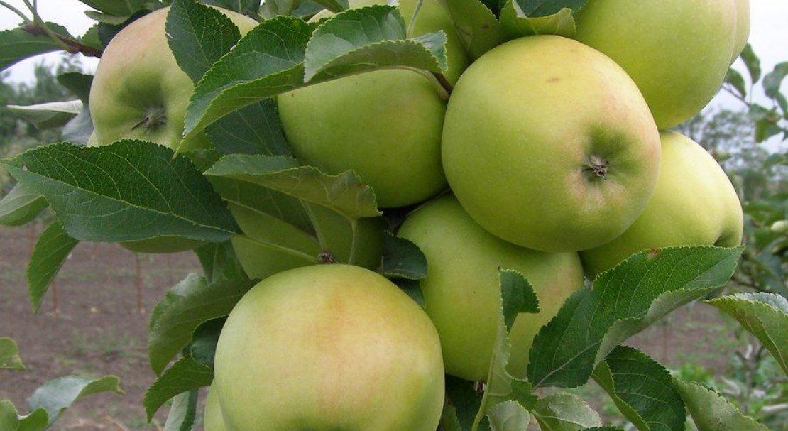 Яблоня детское: описание, фото и отзывы о сорте со сладкими плодами