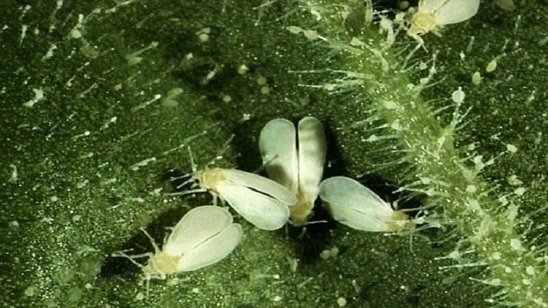 Белые мошки на огурцах: причины появления, что за вредитель, как и чем бороться в теплице и открытом грунте