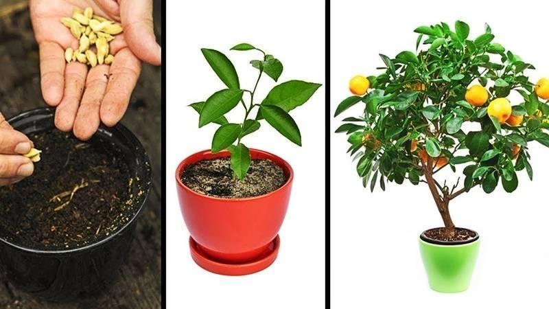 Как вырастить апельсин из косточки в домашних условиях: пошаговое руководство