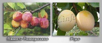 Слива светлячок: описание сорта, фото и отзывы