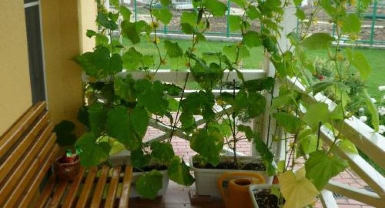 Выращивание тыквы в условиях квартиры в горшке: посадка, уход, фото