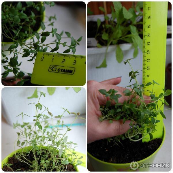 Тимьян медок: описание овощного сорта, особенности выращивания и свойства