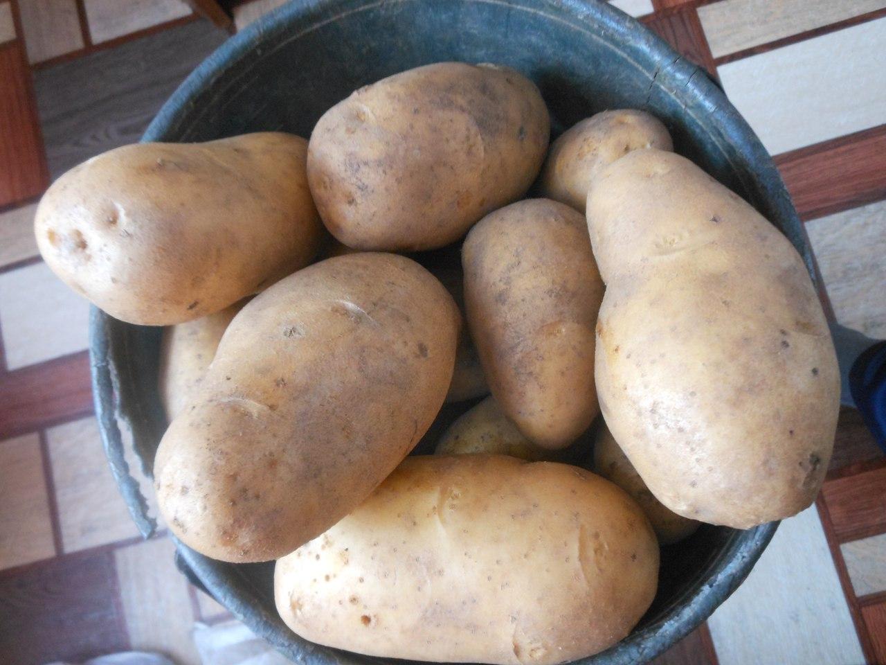 Картофель скарлет: описание сорта, фото, отзывы, особенности посадки и уход :: syl.ru