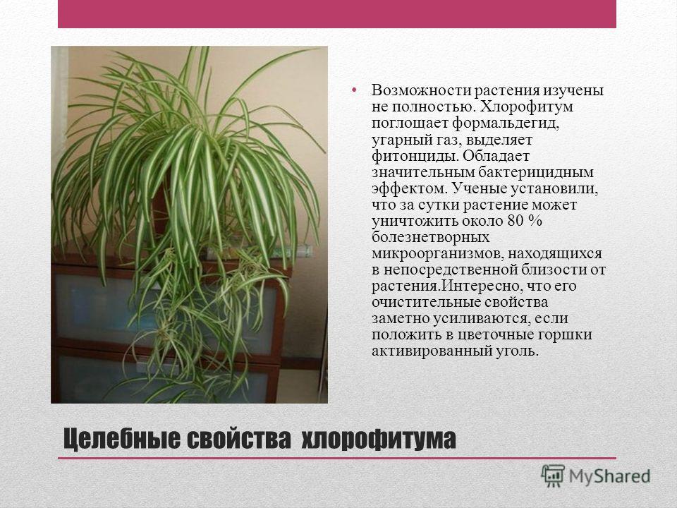 Хлорофитум: польза и вред, описание, фото, уход, приметы, отзывы