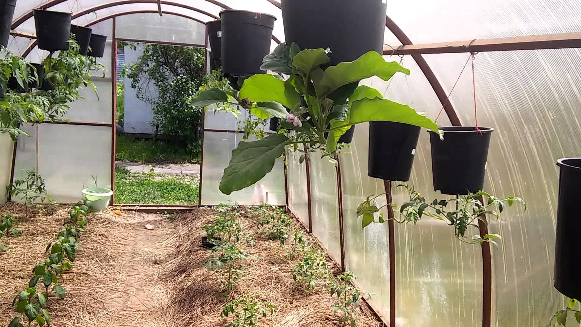 Оригинальный способ выращивания помидоров вверх корнями