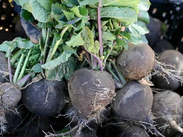 Правильный сбор урожая редьки и особенности хранения
