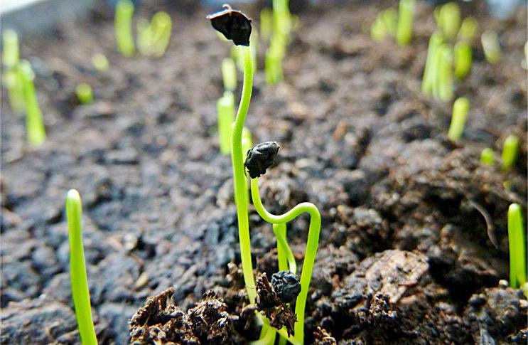 Лук-порей победитель: описание и характеристика сорта, основные особенности, преимущества, недостатки, выращивание из семян и рассадой,  уход, урожайность