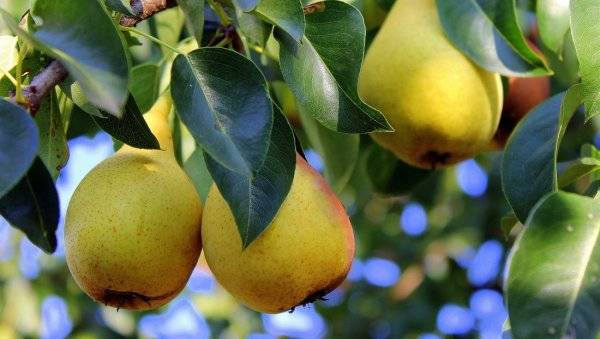 Груша августовская роса: описание сорта, опылители, отзывы садоводов про яблоню