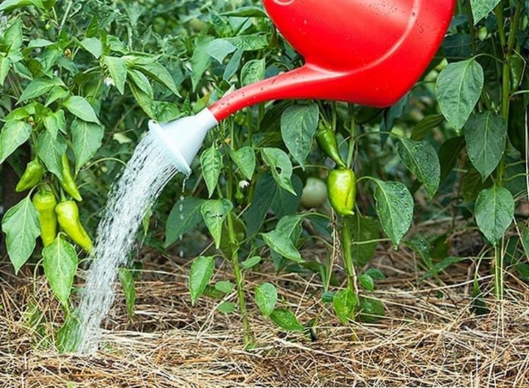 Выращивание перца в открытом грунте – посадка и уход по технологии, особенности агротехники, видео