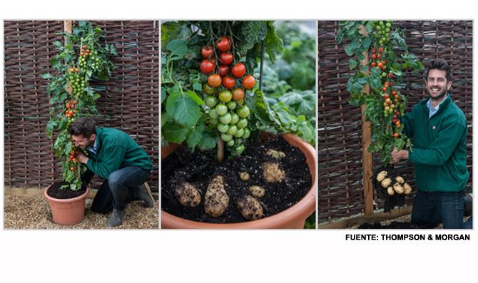 Помидофель: растение которое производит одновременно помидоры и картофель