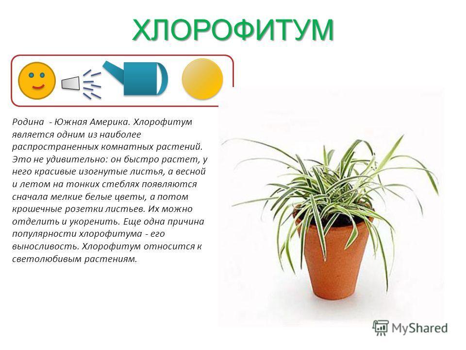 Популярные разновидности цветков хлорофитумов: описание сортов, нюансы по уходу