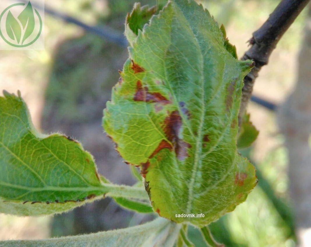 Что делать, если чернеют листья на яблоне? советы профессионалов