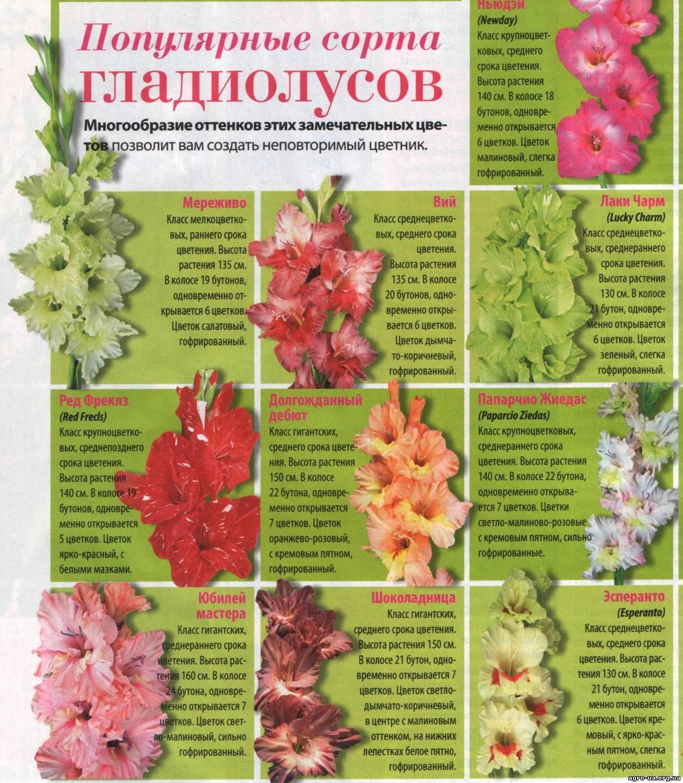 Правильная посадка гладиолусов. когда и как сажать гладиолусы? фото — ботаничка.ru