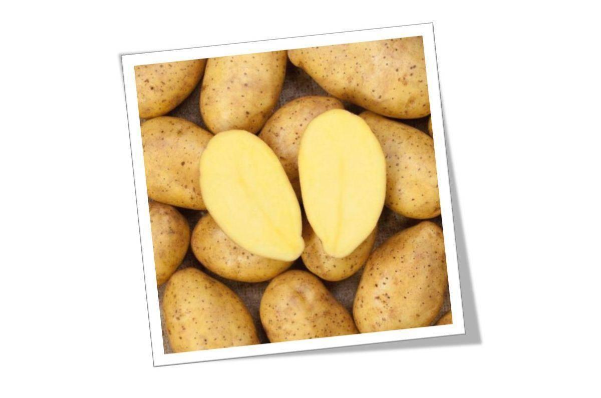 Описание сорта картофеля зекура, его характеристика и урожайность