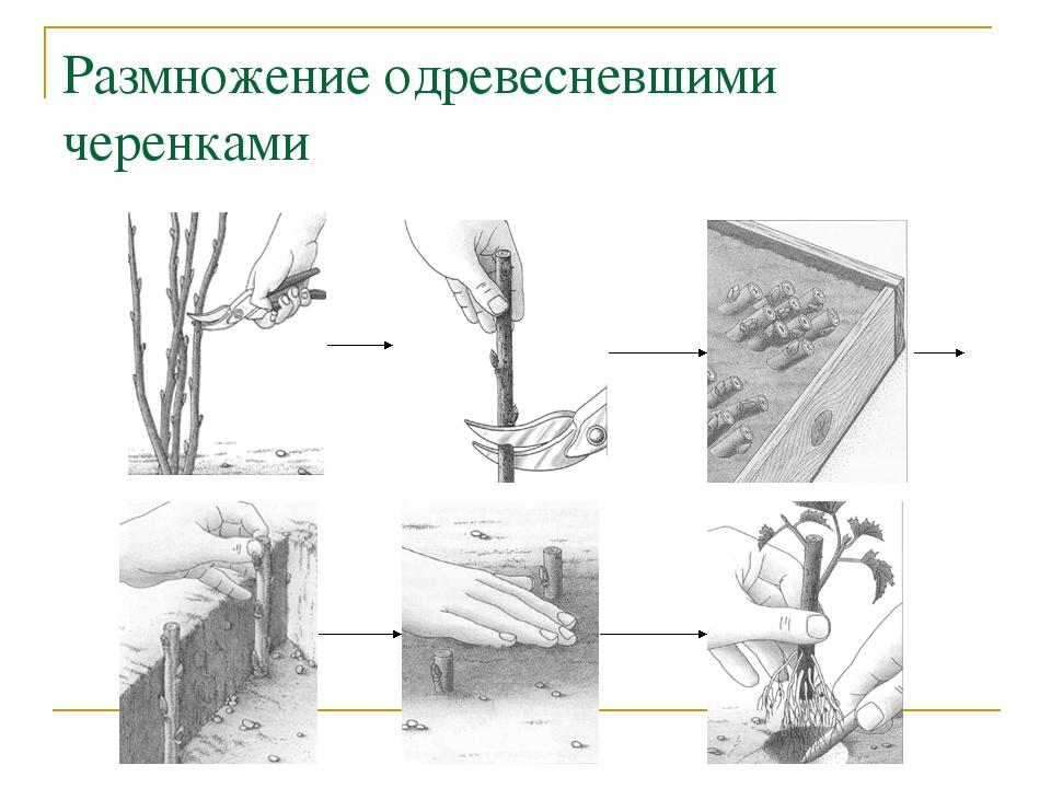 Способы посадки и размножения черешни в домашних условиях