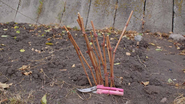 Как посадить розу черенком из букета: инструкция для начинающих - sadovnikam.ru
