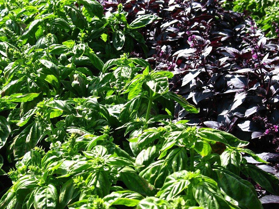 Базилик посадка и уход в открытом грунте, выращивание и размножение, сорта, фото, сочетание с другими растениями
