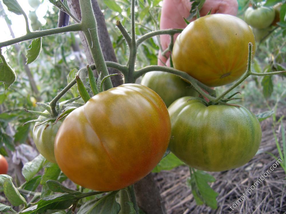 Описание сортов томатов, выращенных мной в 2015гг: дневник пользователя ssvetik-5