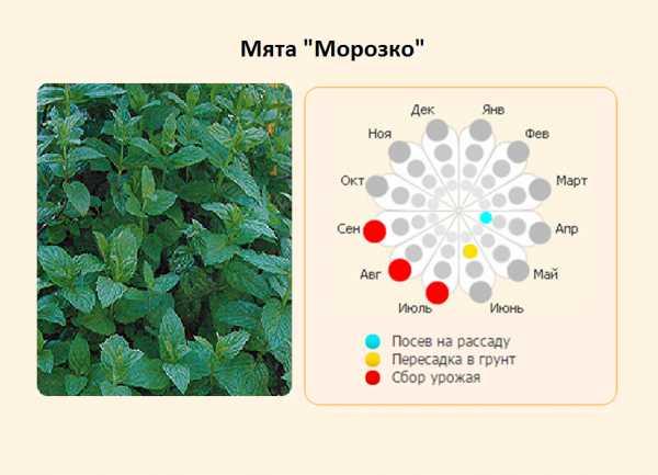 Марокканская мята: описание и свойства, посадка и уход, вредители, рецепты с фото