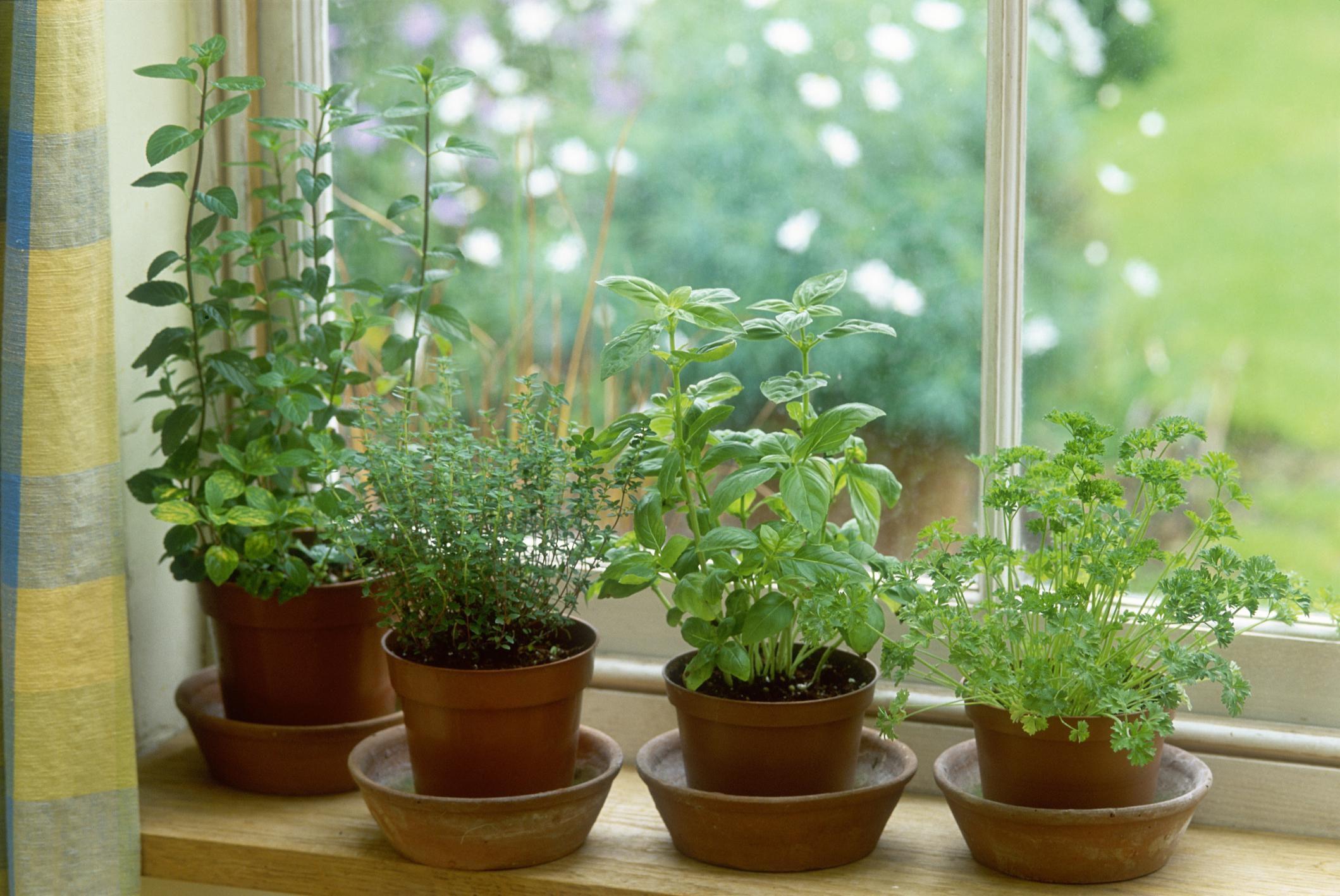 Чабер в домашних условиях: как вырастить травянистое растение на подоконнике