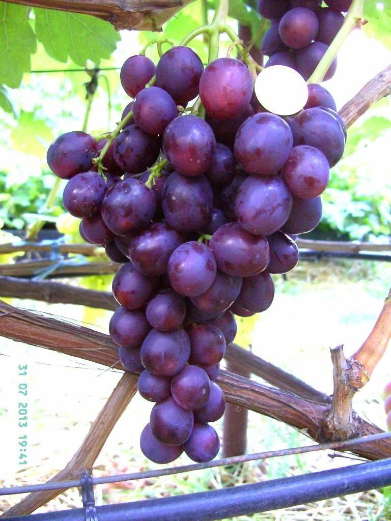 Сорт винограда памяти учителя - описание сорта, характеристики