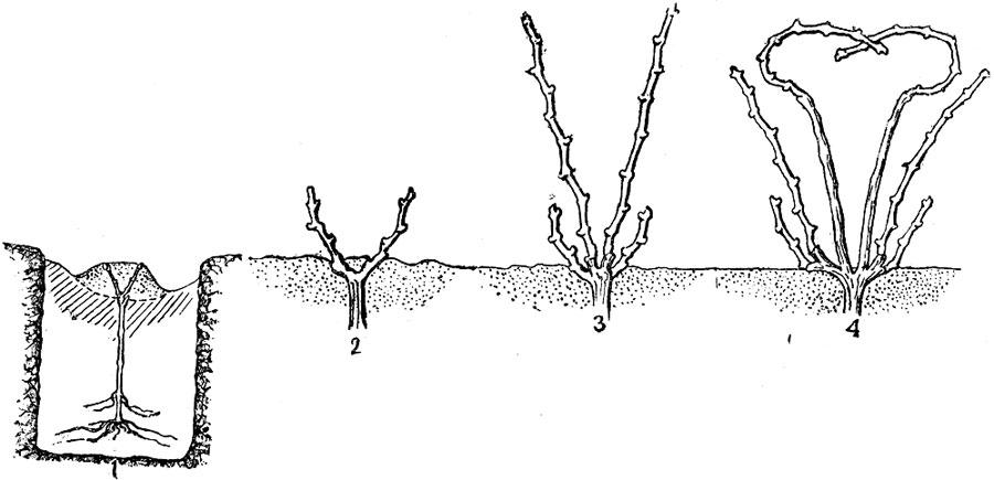 Виноград рубиновый юбилей: описание и характеристики сорта, особенности ухода и фото