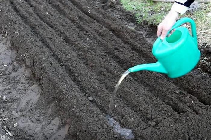 Полив свеклы в открытом грунте: как часто и как правильно поливать?