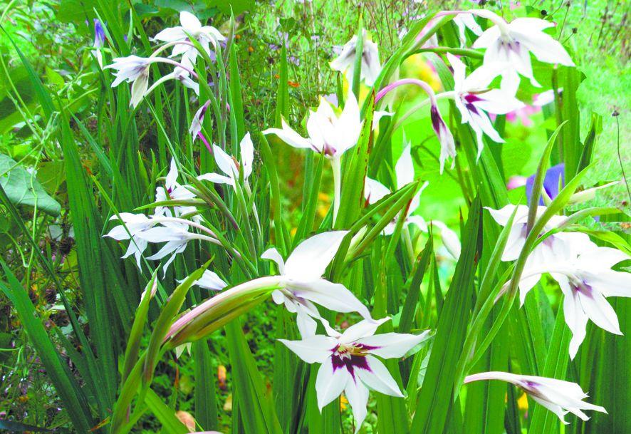 Растение ацидантера: фото и описание, посадка и уход при выращивании в открытом грунте