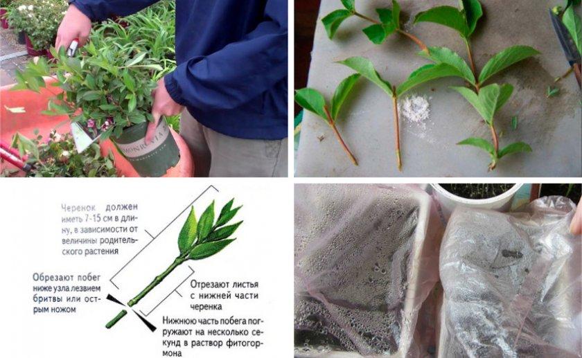 Способы размножения барбариса: черенками, как размножить отводками и семенами