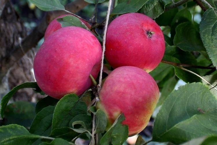 Яблоня коробовка: описание и характеристики сорта, выращивание и размножение