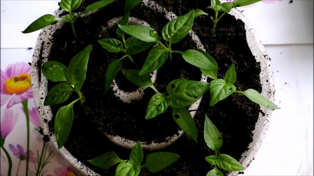 Рассада помидор в улитках – посев, пикировка в пеленки, уход в домашних условиях