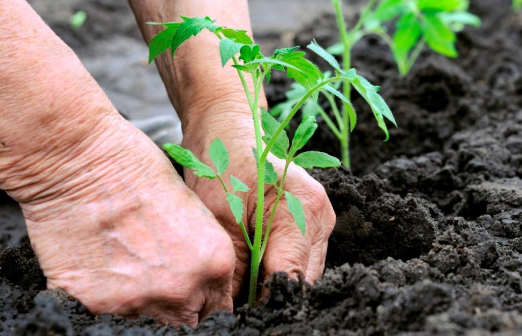 Метод терехиных по выращиванию томатов, жесткая пикировка, видео