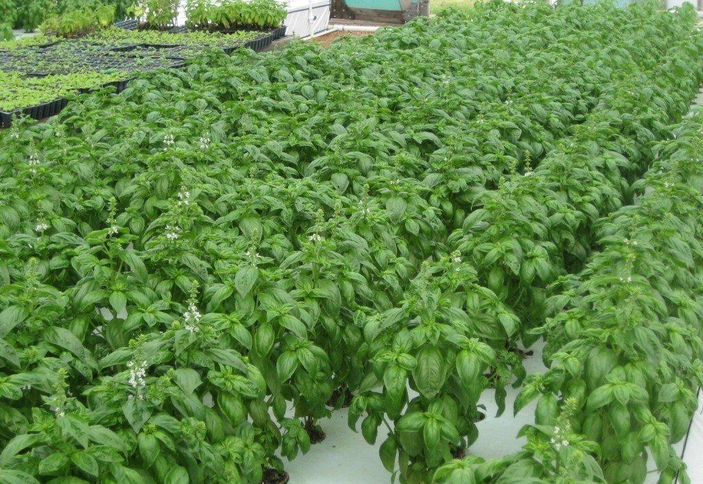 Как правильно выращивать базилик в теплице зимой, советы