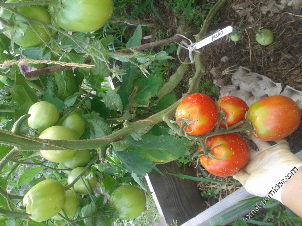 Мясистый, вкусный и очень ароматный томат «данко»: получаем богатый стабильный урожай