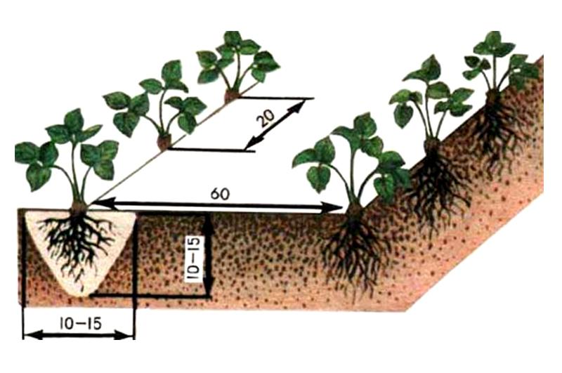 Сколько лет плодоносит клубника на одном месте: сроки выращивания