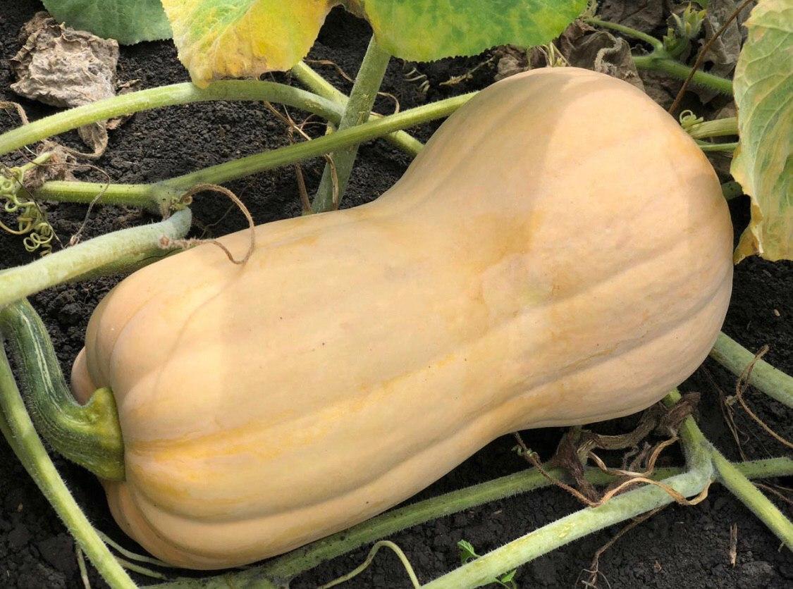 Тыква баттернат: описание и характеристика сорта, выращивание с фото